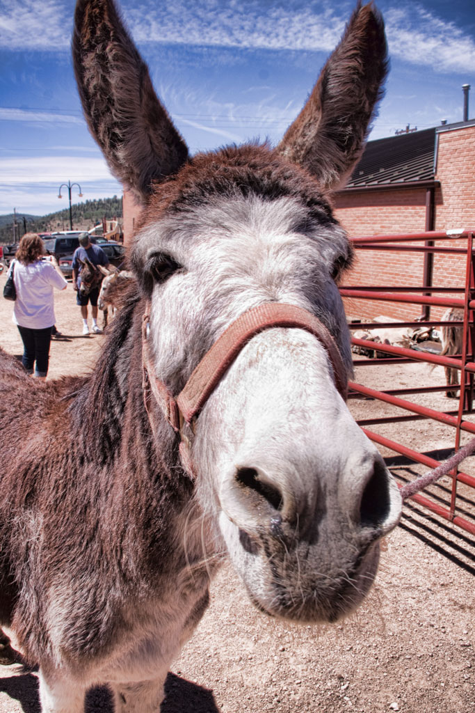 Donkey Derby Days in Cripple Creek