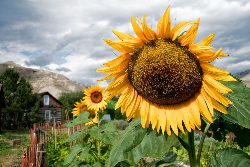 Cabin Sunflower