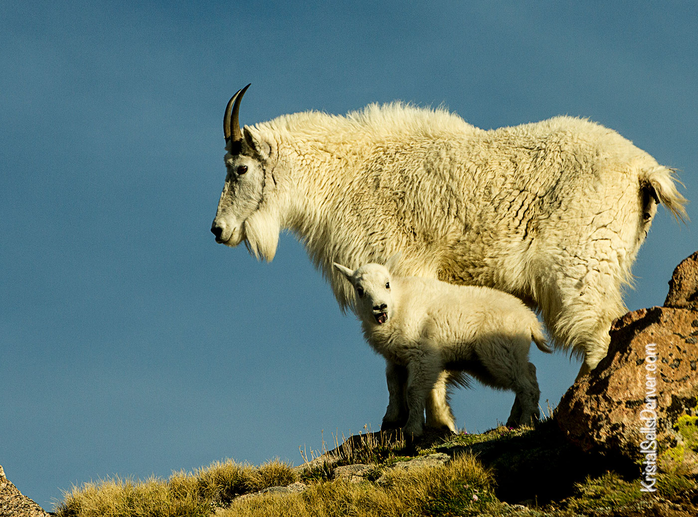 Mountain Goat Mom and Kid, Mt. Evans, Colorado