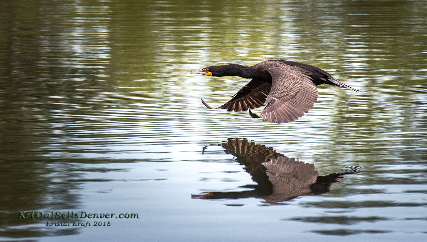 BirdInFlight-Cormorant