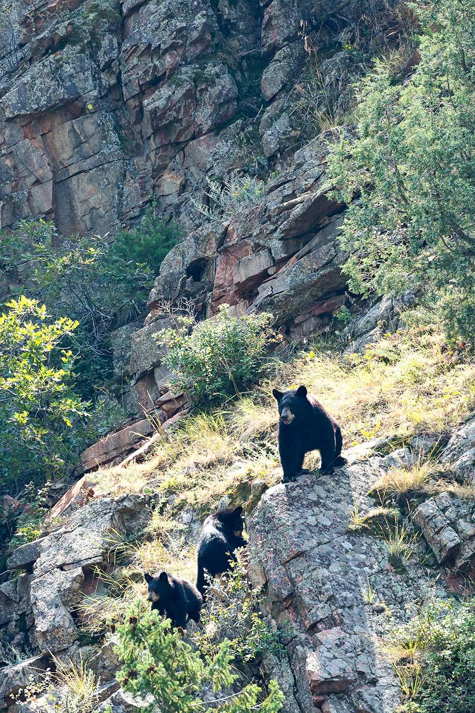 Momma Bear with Cubs