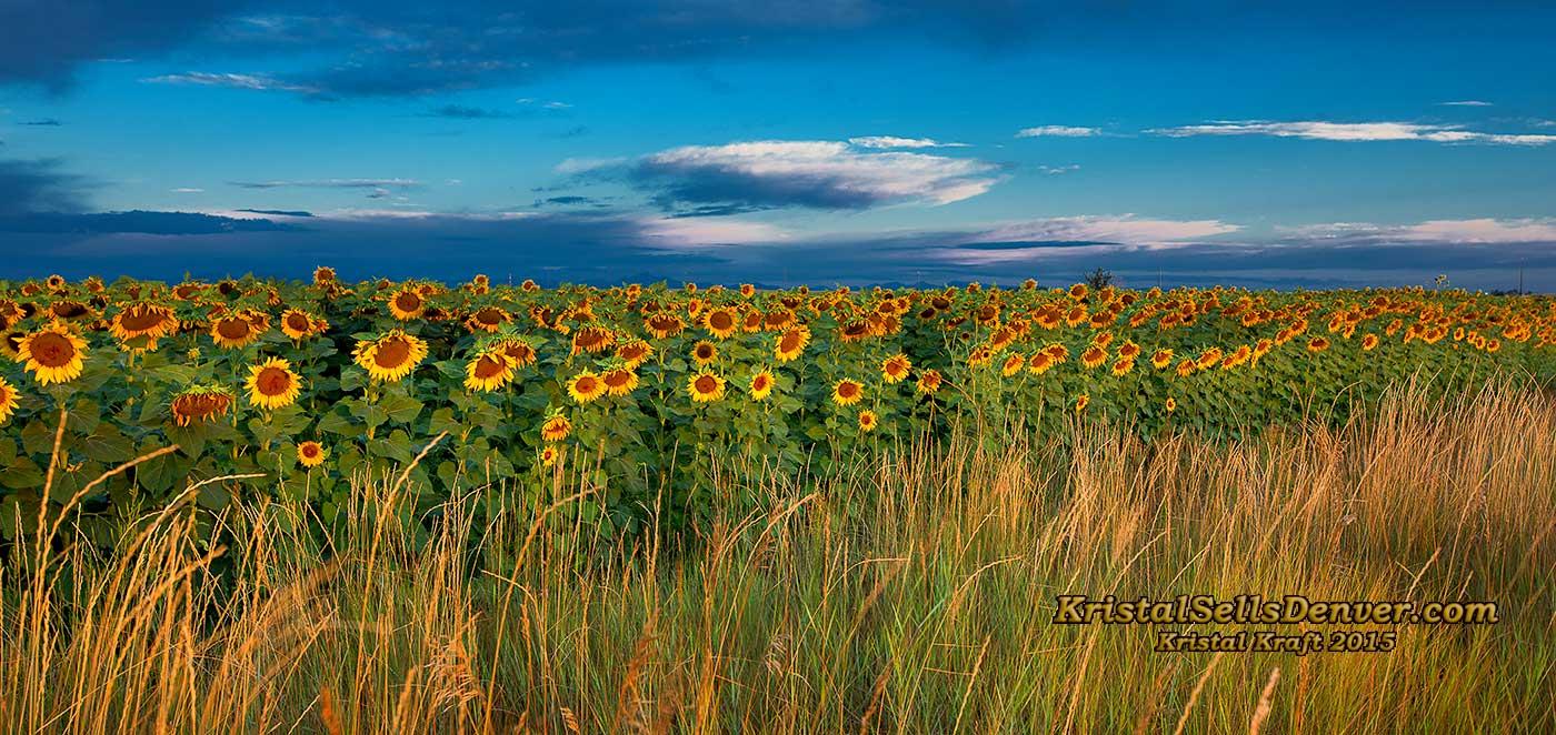 Sunflower fields in Denver