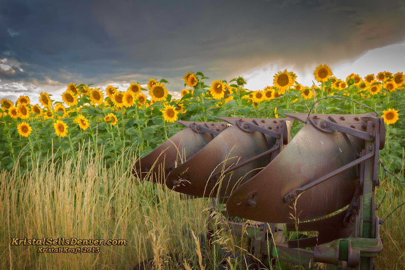 Sunflowers in Denver