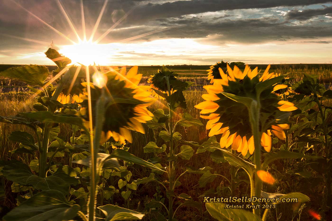 sunflowers gleaming in the morning sun