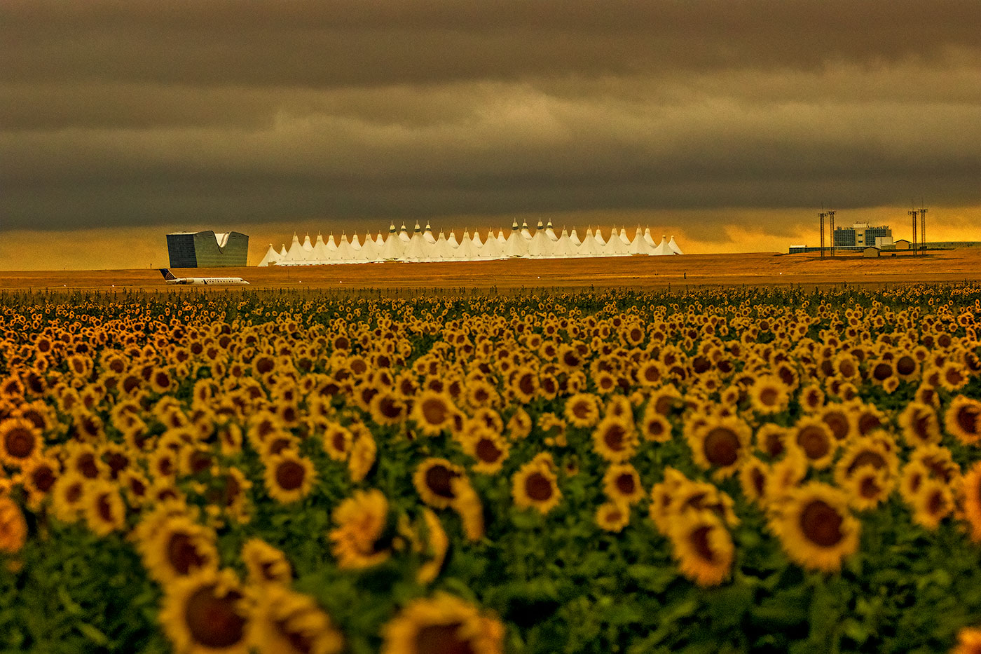 Sunflowers at the Airport
