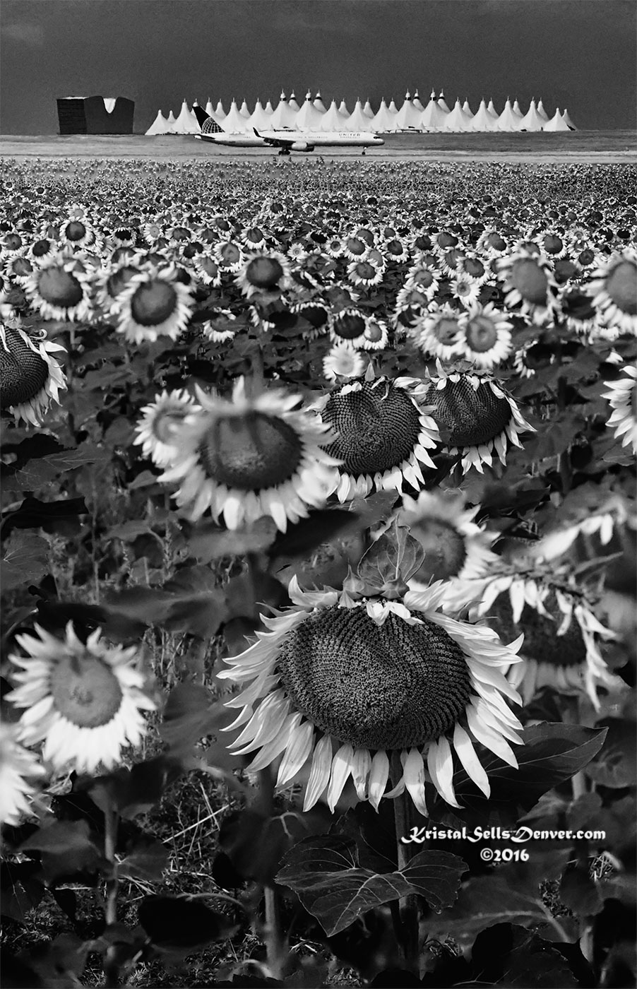 Sunflowers in Monochrome