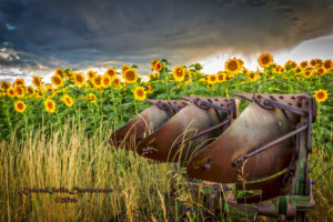 Sunflowers of Colorado