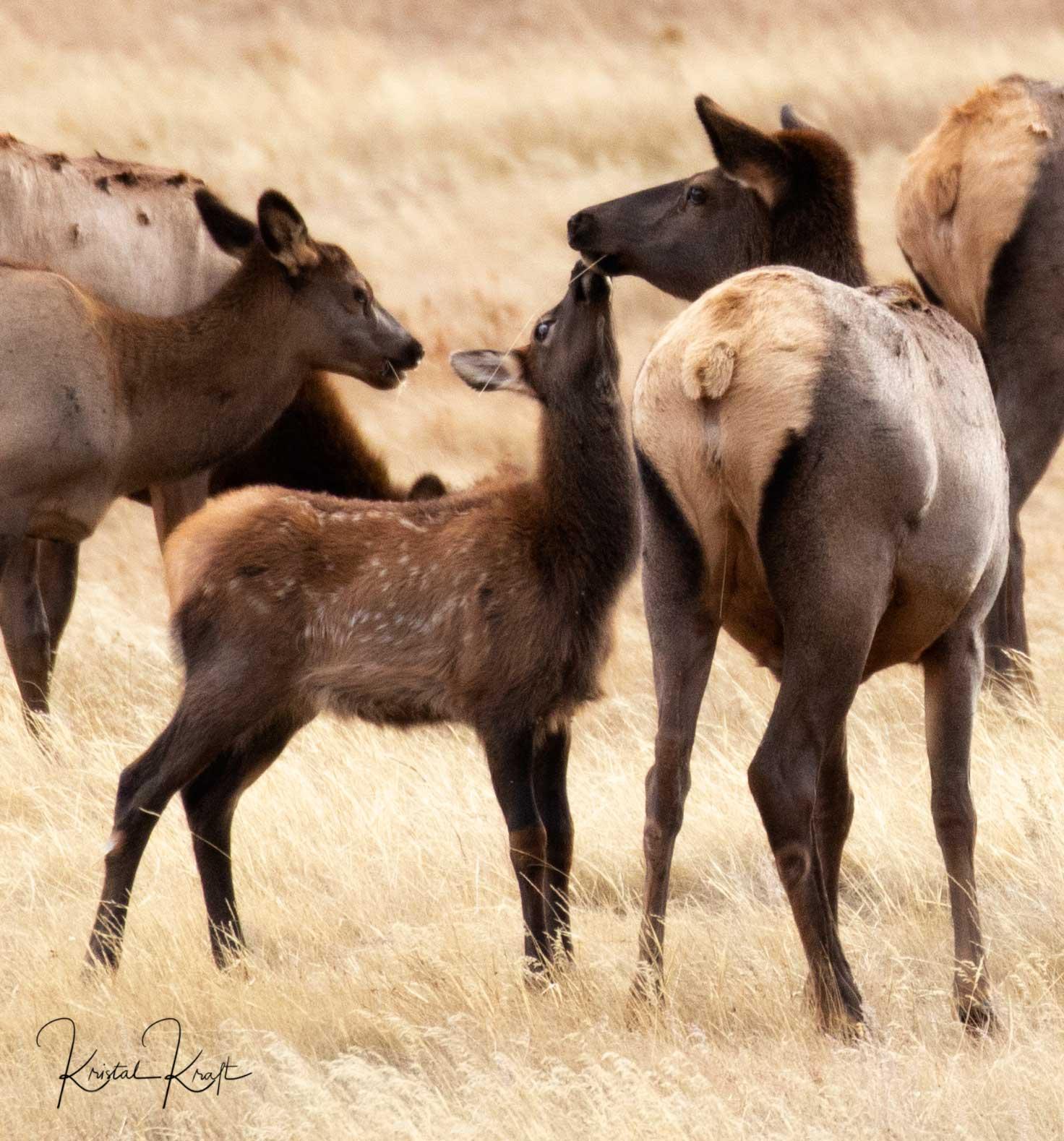 Baby elk kissing momma elk